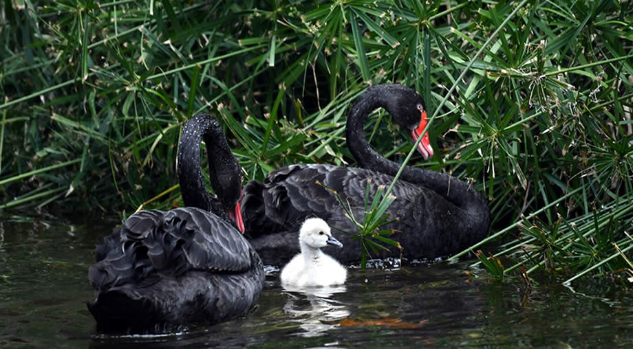 black swan loro parque tenerife