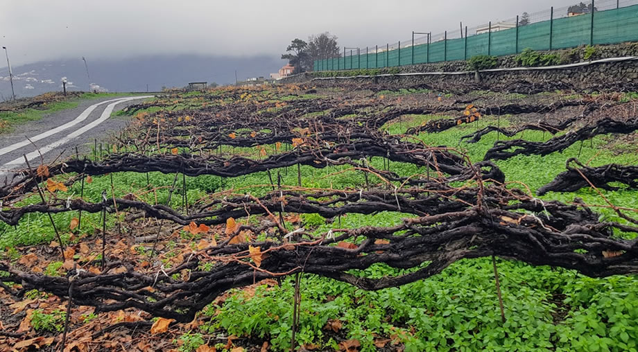 vineyard tenerife