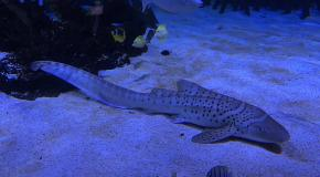 Zebra shark loro parque tenerife